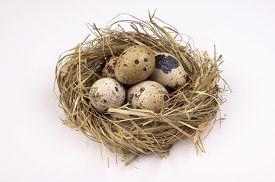picture of quail egg  - Nest with quail eggs isolated on the white background - JPG