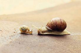 image of garden snail  - Garden snail  - JPG