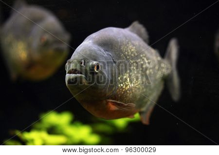 Red-bellied piranha (Pygocentrus nattereri), also known as the red piranha. Wildlife animal.