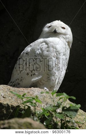 Snowy owl (Bubo scandiacus). Wildlife animal.