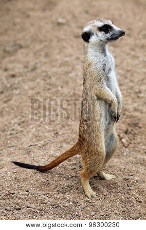 Meerkat (Suricata suricatta), also known as the suricate. Wildlife animal.