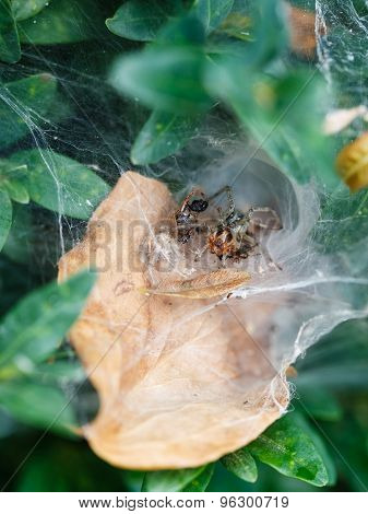 Spider In Cobweb Close Up On Boxwood