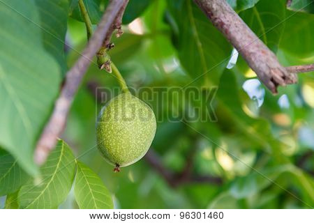 Green Fruit Of Walnut On Tree