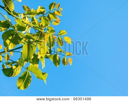 Green Leaves Of Walnut Tree And Blue Sky