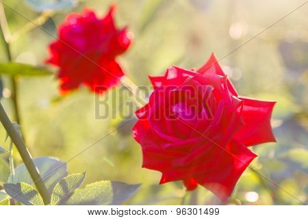 Two Red Roses With Sunset Backlighting Outdoors