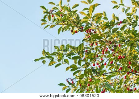 Blue Sky And Twigs With Ripe Red Cherry Fruits