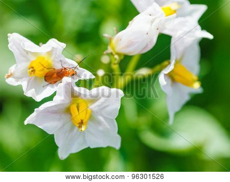 Soldier Beetle In Potato Flower