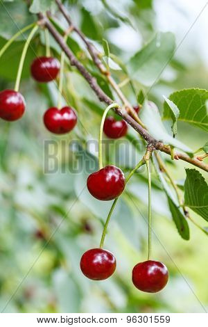 Twig With Few Ripe Red Cherry Fruits On Tree