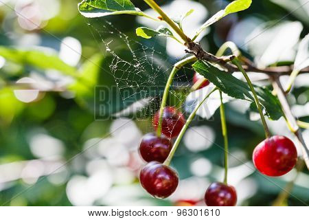 Spiderweb And Ripe Red Cherry On Tree In Summer