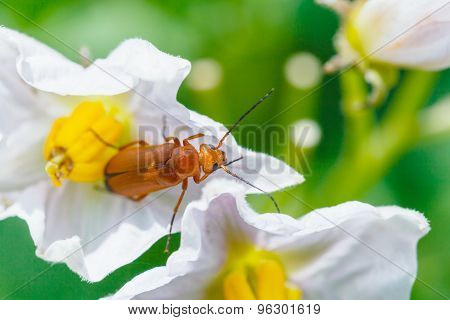 Soldier Beetle In Potato Flower Close Up
