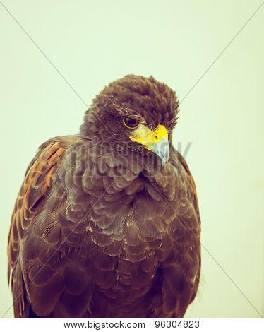 Golden Eagle ( Filtered image processed vintage effect. )