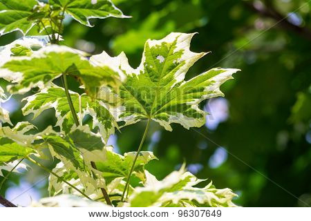 Maple Leaves On An Indistinct Green Background