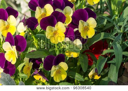 Flowers Pansies For A Natural Background