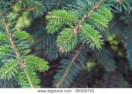 Prickly Branches Of A Coniferous Tree Closeup