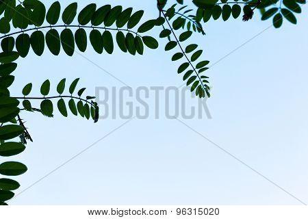 Acacia Frame