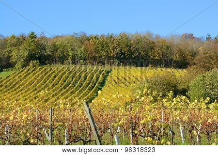 English Vineyard In Autumn
