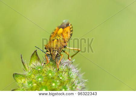 Yellow Shield Bug.
