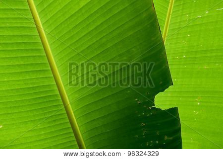 nature green banana leaf insect bites for background