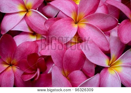 Frangipani flowers (pink Plumeria flower)