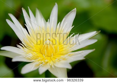 white and yellow lotus flower close up