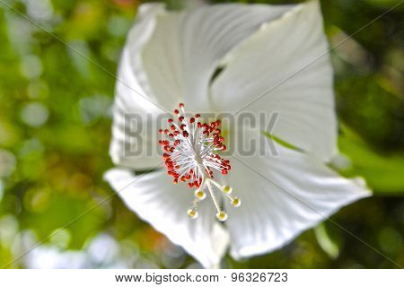 White Tropical Flower Hibiscus In Bloom