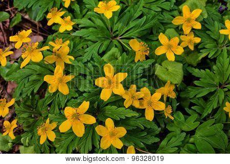 flowers buttercups