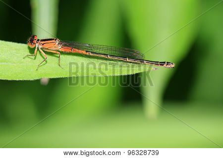 Eastern Forktail Damselfly female