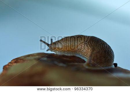 Achatina Snail.