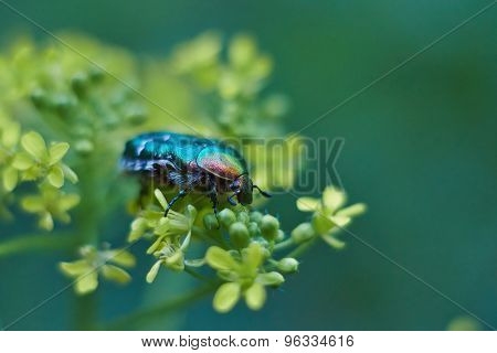 Chafer Beetle On Flowering Plants