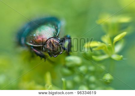 Chafer Beetle On Flowering Plants.