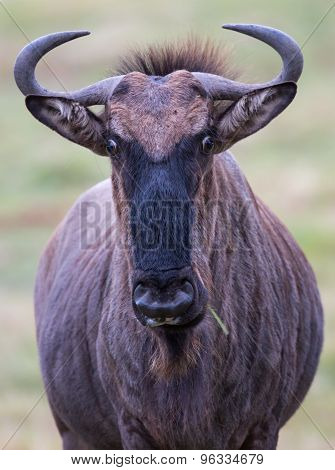 Wilderbeest Or Gnu