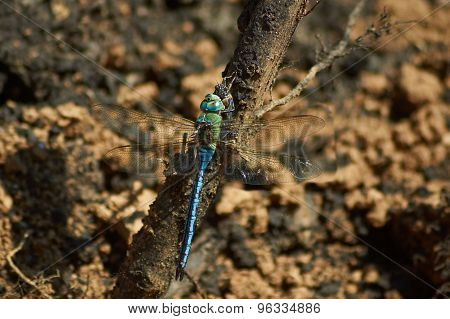 Blue Dragonfly   Eats Caught Cicada.