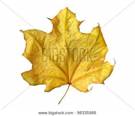 Bright Yellow Maple Leaf On White Background