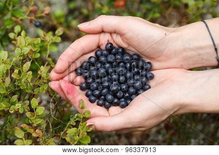 Handful Of Bilberries