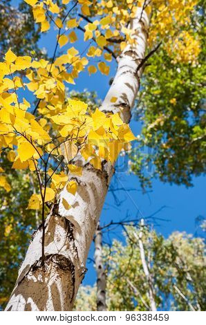 Birch Trees With Yellow Leaves In Autumn Forest