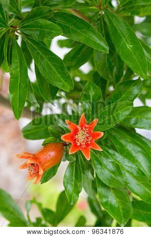 Blossoming Pomegranate Tree
