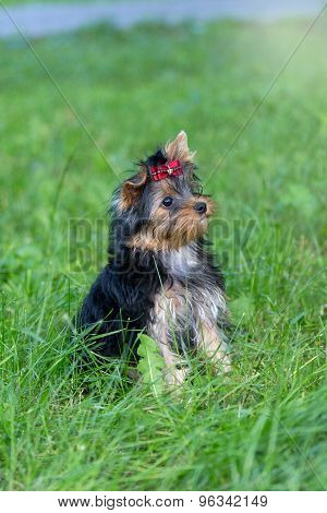 Puppy Yorkshire Terrier Walking In The Park