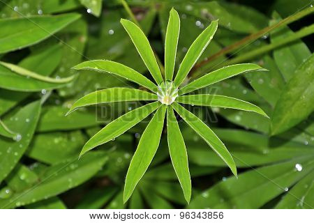 Raindrops On The Young Leaf Of Lupine