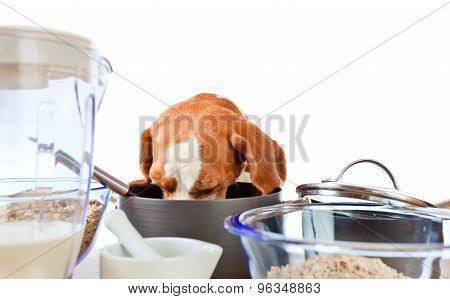Beagle In Kitchen , Isolated On White