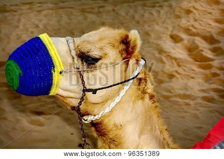 The Muzzle Of The Camel Close-up