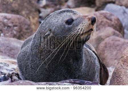 A Free-living Seal On The Southern Island Of New Zealand