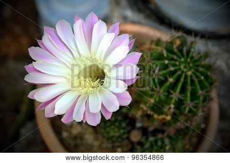 Pink cactus flower - Pink Easter Lily Cactus