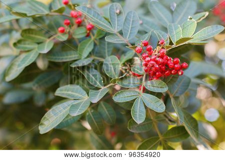 Schinus Terebinthifolius, Brazilian Pepper, Aroeira, Rose Pepper, Christmasberry