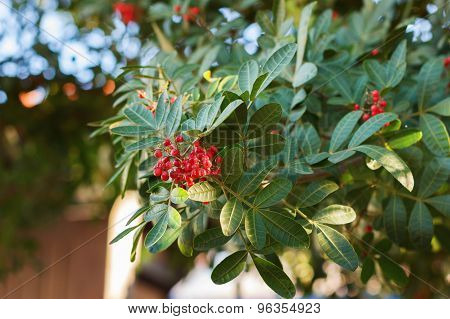 Schinus Terebinthifolius, Brazilian Pepper, Aroeira, Rose Pepper,