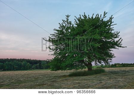 Lonely Tree In Sunrise Time In Summer Morning , Meadow With Cut Grass,forest  And Colour Sky
