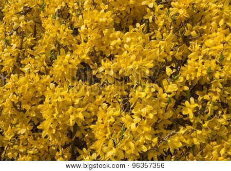 Yellow flowers of a forsythia