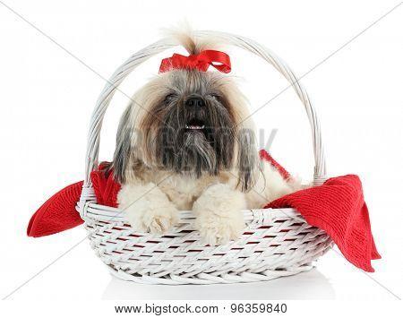 Cute Shih Tzu in wicker basket isolated on white