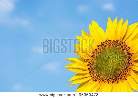 Sunflower Against The Blue Sky.