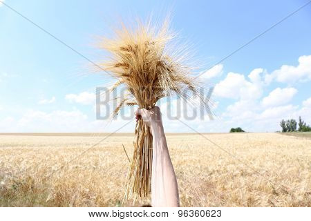 Female hand holding sheaf in field