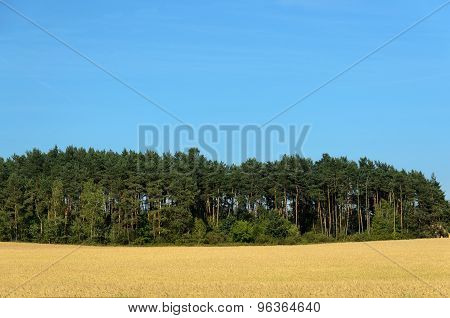 Coniferous Forest Among A Wheat Field